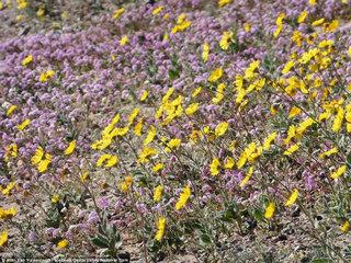 death-valley-bloom-5.jpg